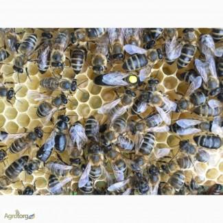 Бджоломатка КАРПАТКА Плідні матки 2019 року (Пчеломатки, Матка, Бджолині матки)