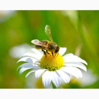 Закуповуємо мед в Ульяновському, Голованівському, Гайворонському райнах
