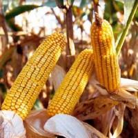 Семена кукурузы Хортица ДН (ФАО - 240)