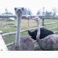Продається сім#039;я страусів 6 річного Віку несуться