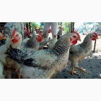 Яйцо инкубационное. Инкубационные яйца мясо-яичных кур: Мастер Грей, Фокси Чик, Ред Бро