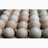 Продам инкубационные индюшиные яйца БЮТ8