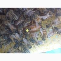 Неплодные пчеломатки Бакфаст