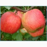 Продам яблука з молодого саду- чемпіон, голден, пінова та айдаред