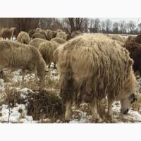 Гиссарский баран 100+ кг курдючный