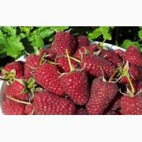 Продам ягоды жимолости, малины, черной смородины урожай 2019