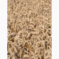 Продам 25тонн пшениці 4700грн т