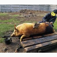 Свиню, свинину, м#039;ясо на ковбаски