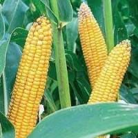 Продам насіння кукурудзи та соняшника МАЇСАДУР від ТОВ Сатіва, Київ