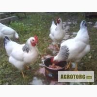Продаются цыплята породы адлерская серебристая