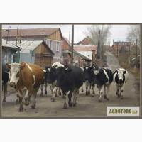 Продам коров оптом