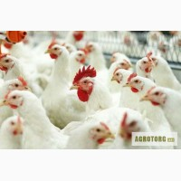 Продам курчата БРОЙЛЕРИ підрощені під замовлення