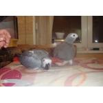 Жако - попугаи птенцы