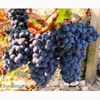 Продам виноград МЕРЛО