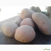 Продам картоплю Білороса велика чиста з піщаного грунту