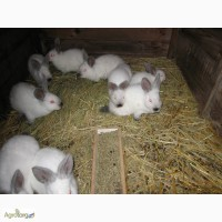 Продам кроликов новозеландцев и калифорнийцев