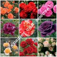 Саженцы роз: чайно-гибридные, бордюрные, плетистые. Более 50 сортов