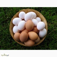 Яйцо инкубационное Испанки, Мастер-Грей, Редбро