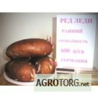 Сортовой семенной картофель.