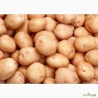 Картопля товарна