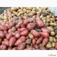 Куплю картофель от 10 тонн в Черниговской и Сумской области