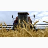 Предприятие производит оптовые закупки зерновых культур Пшеницу (2-6) классов