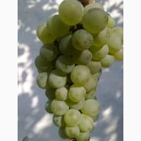 Продам виноград винный, столовый, опт