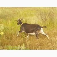 Продаю хорошее стадо коз в связи с переездом