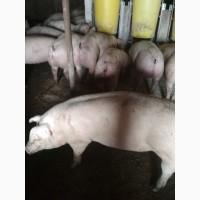 Бойня Закупает свиней. Куплю
