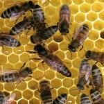 Бджоломатки (пчеломатки) карпатка, карпатской породы 2018