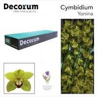 Orchid Cymbidium, Орхидея, ОПТ, Киев, Украина