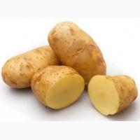 Куплю картофель оптом от производителя от 20т