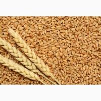 Насіння твердої пшениці, семена пшеницы трансгенный сорт двуручки amadeo