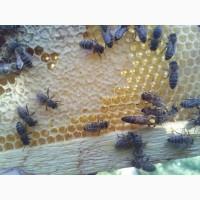 Пчеломатка Карпатка F1 Бджоломатки плодные 2019 года