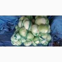 Продам капусту белокочанную сорт АГРЕССОР, ЭЛАСТОР. Запорожская область, пгт Акимовка