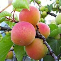 Продажа абрикос от производителя, Сорт Киевский красень