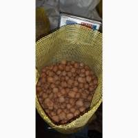 Постійно приймаємо замовлення на експорт Грецького горіху