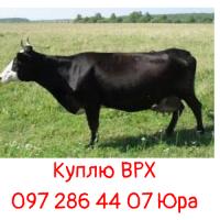 Куплю ХУДОБУ Вінницька Черкаська Кіровоградська Миколаївська обл