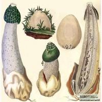 Продам лечебный гриб веселка (настойка)