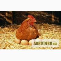 Суточные цыплята бройлера