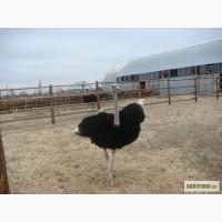 Страусы, продажа страусов, продам страусят, страусята, страус Крым