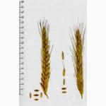 Семена посевного тритикале озимого Гарне 1 репродукции