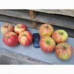Производитель продаст яблоко, много сортов
