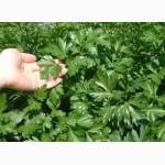 Продам семена Петрушки Листовой в ассортименте, оптом и в розницу