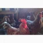 Продам инкубационные яйца кур, породы Первомайская, Билефельдер