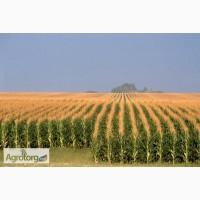 РАМ 8143 гибрид кукурузы ФАО 260