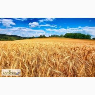 Закупка пшеницы крупным оптом