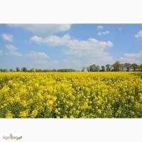 Закупаем оптом масличные культуры (Рапс продовольственный и технический