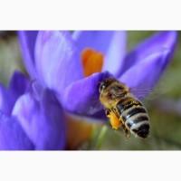 Закуповуємо мед. Новоукраїнка, Помічна і інші райони Кіровоградська обл