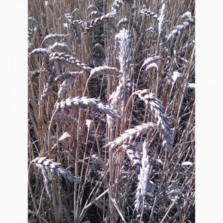 Канадские семена пшеници Омаха -2реп.(двуручка)